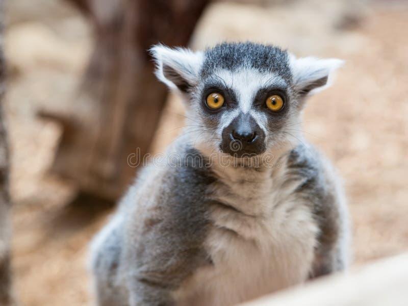Säugetier-Primas Grey Ring Tailed Lemur Face Closeup lizenzfreie stockfotografie