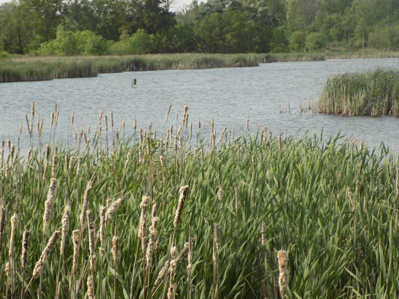 Säv cattail, typhaväxter på sjön royaltyfri foto