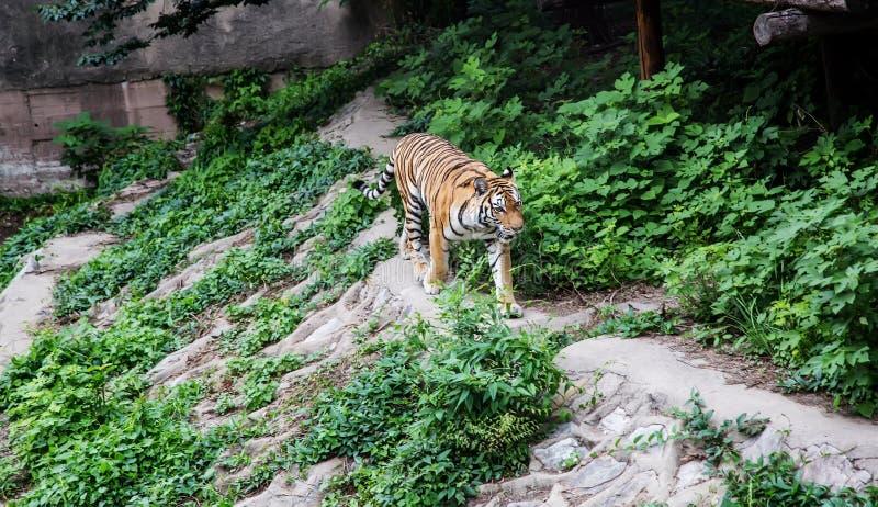 Sävlig tiger royaltyfri fotografi