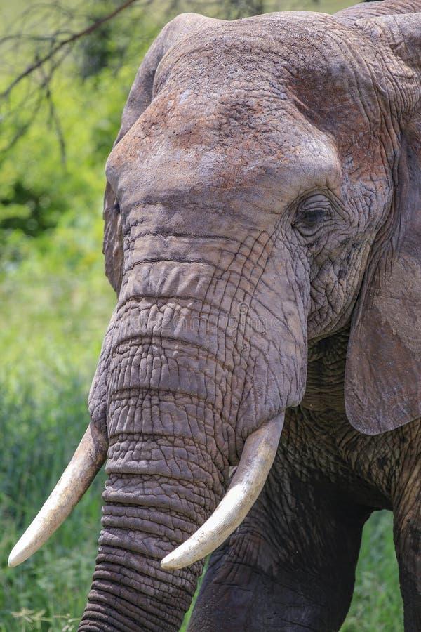 Słoń chodzi w portret w słońcu z kłami fotografia stock