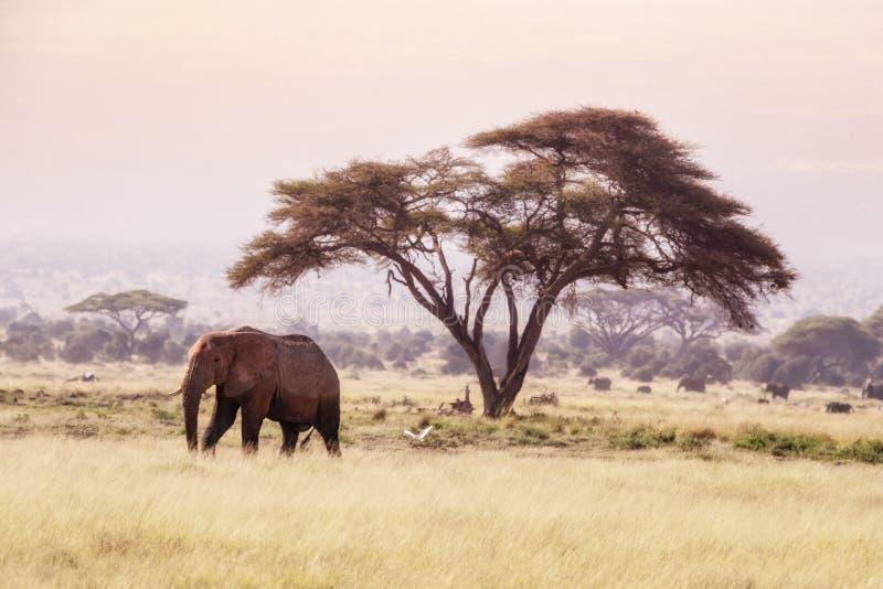 Słoń i akacja w Amboseli obrazy royalty free