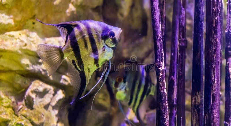 Słodkowodny angelfish z innym angelfish w tle, popularni akwariów zwierzęta domowe, tropikalna ryba od Amazon basenu zdjęcie royalty free
