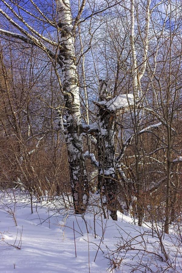 słoneczny dzień w śnieżnej zimy lasowej iso fotografii obrazy royalty free