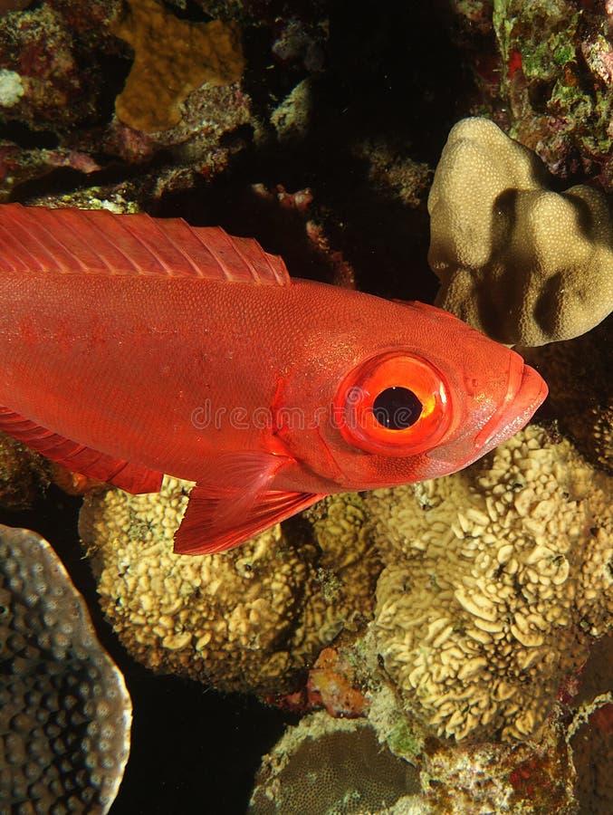 Såg den röda fisken för det stora ögat nyfiken arkivfoto