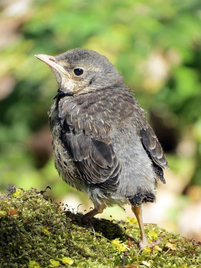 Sång-trast fågel royaltyfri bild