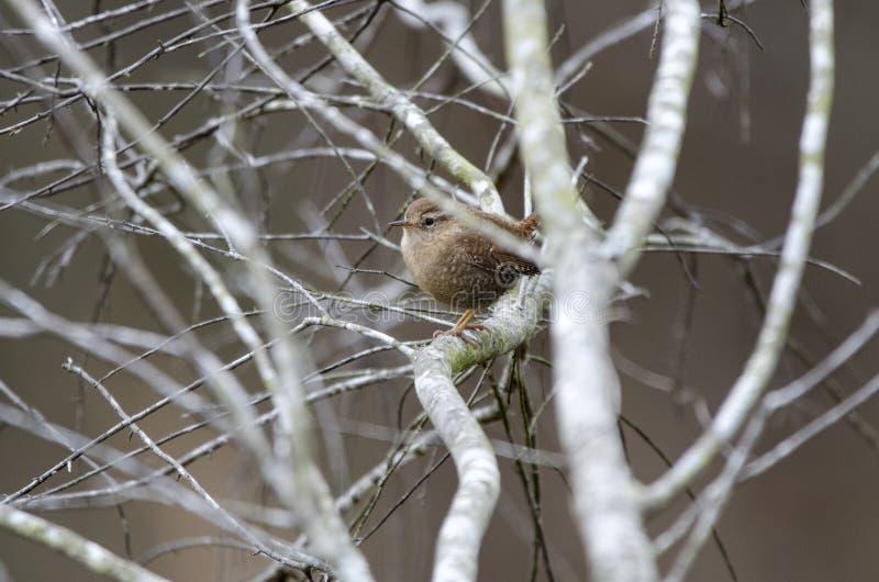 Sångfågel för vintergärdsmyg, Georgia, USA royaltyfri foto