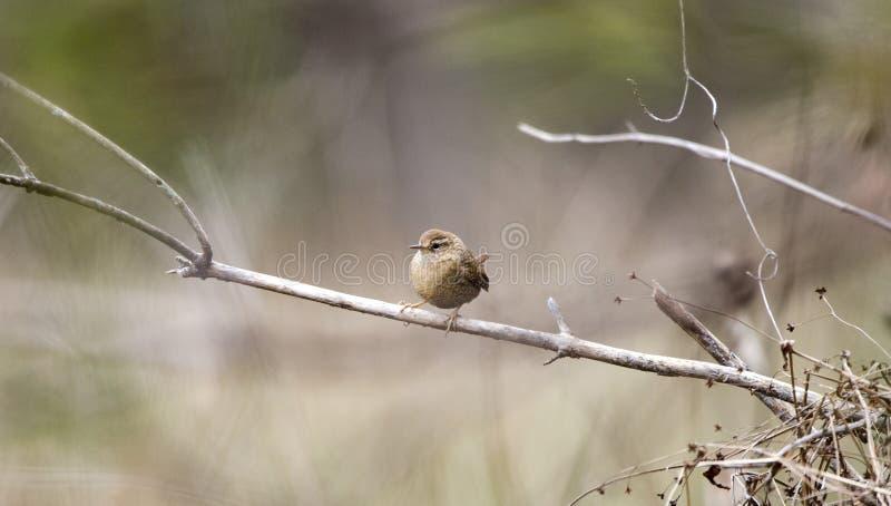 Sångfågel för vintergärdsmyg, Georgia, USA royaltyfri bild
