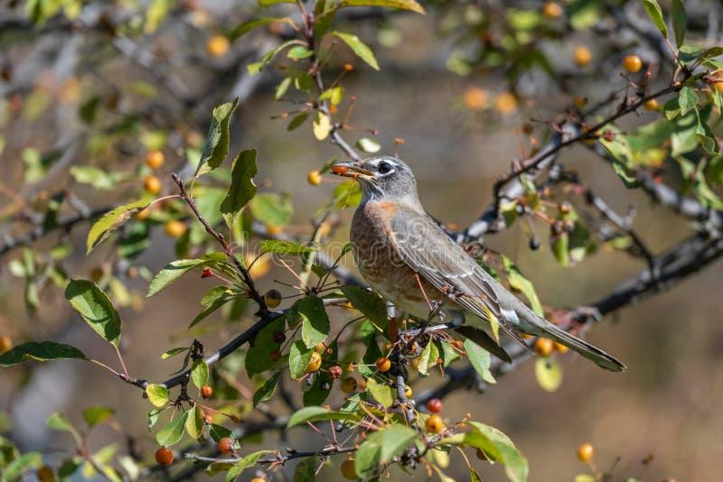 Sångfågel i natur arkivfoto