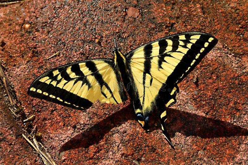Sårad fjäril arkivfoton