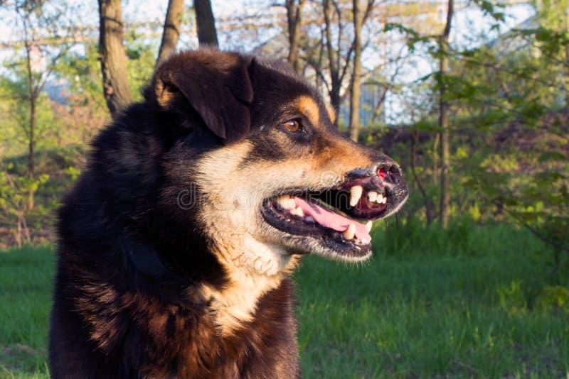 Sårad hund för tillfällig byracka arkivfoto