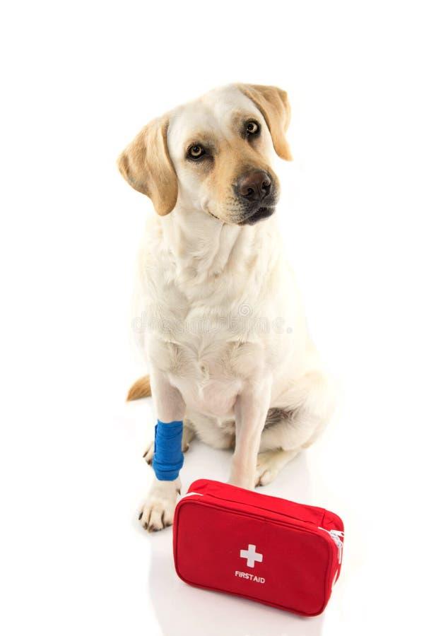sårad hund LABRADORSAMMANTRÄDE MED EN ELASTISK BLÅTT FÖRBINDER ELLER SÄTTER BAND PÅ FÖTTER ELLER TAFSAR OCH ETT NÖDLÄGE ELLER EN  royaltyfri fotografi