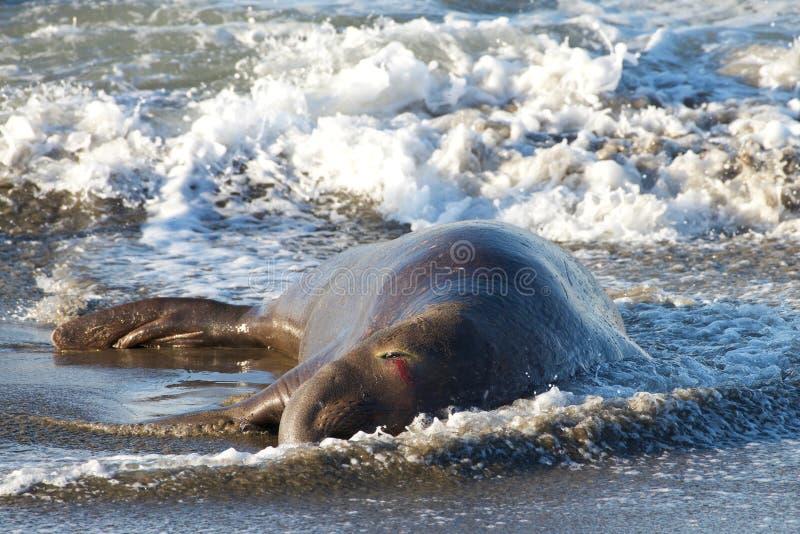 Sårad manlig elefantskyddsremsa som lägger i bränningen på stranden med ögonblödning arkivfoto