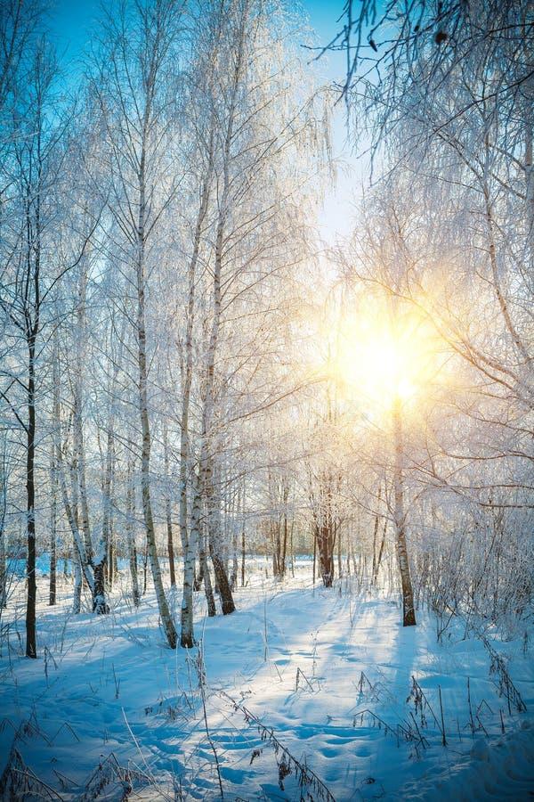 sårad vinter för björkskogtree royaltyfri bild
