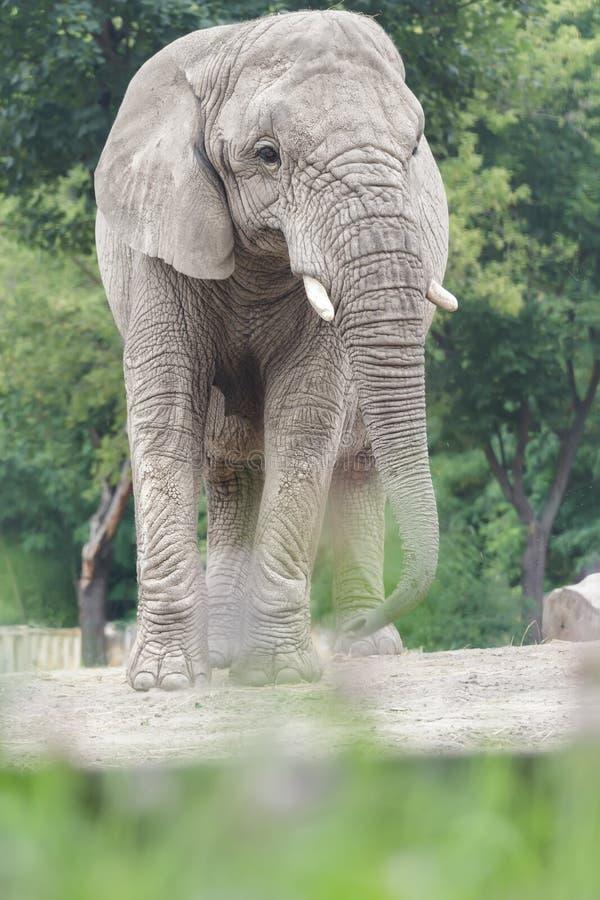 Sårbar art för afrikansk elefant av djur som står bland torrt dammigt land royaltyfri fotografi