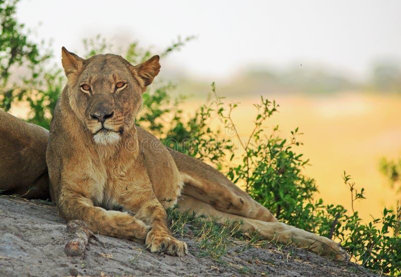 Séance adulte de lionne détendue sur un grand rocher avec un fond simple ouvert naturel photographie stock libre de droits