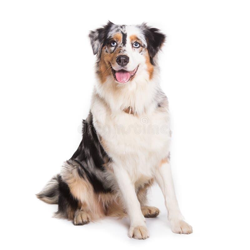 Séance australienne de chien de berger d'isolement à l'arrière-plan blanc photographie stock libre de droits