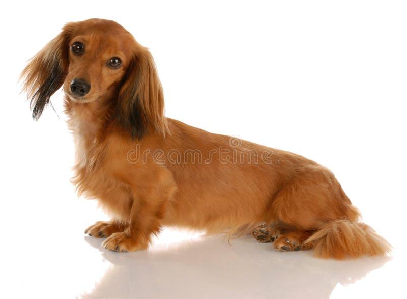 Séance aux cheveux longs de dachshund photos stock