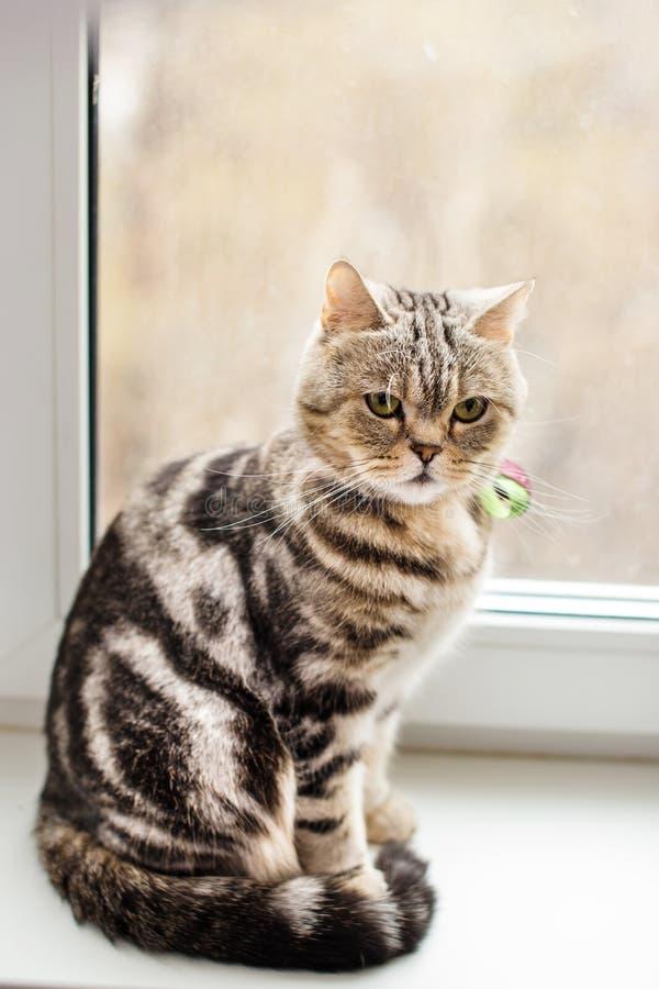 Séance bringée de chat britannique sur un filon-couche de fenêtre photographie stock libre de droits