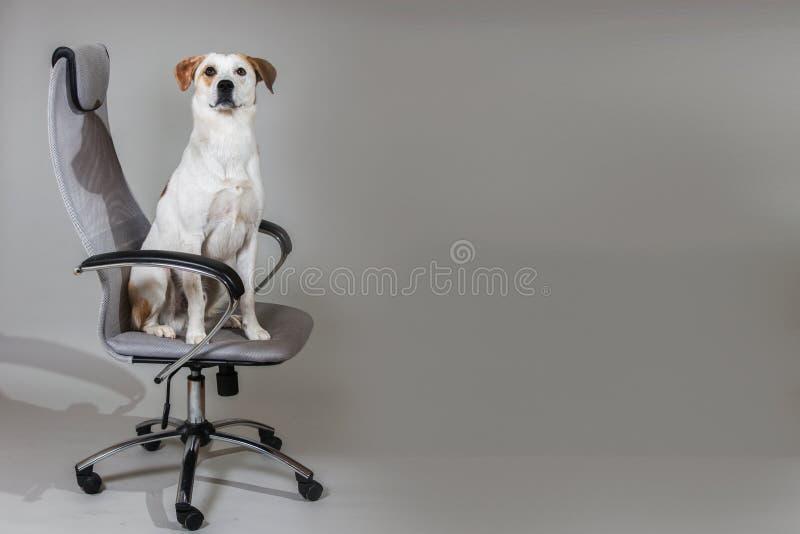 Séance brune et blanche de cheveux courts de chien mélangé de race sur la grande chaise d'isolement sur le fond gris-clair photos stock