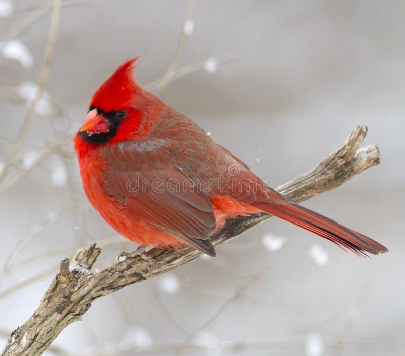 Séance cardinale masculine rouge sur une branche avec le blanc en baisse maintenant à l'arrière-plan image libre de droits