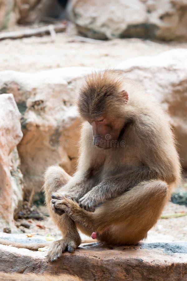 Séance de babouin de Hamadryas regardant son pied images stock