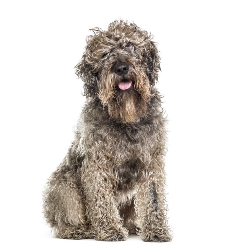 Séance de chien de croisement et halètement, d'isolement image libre de droits