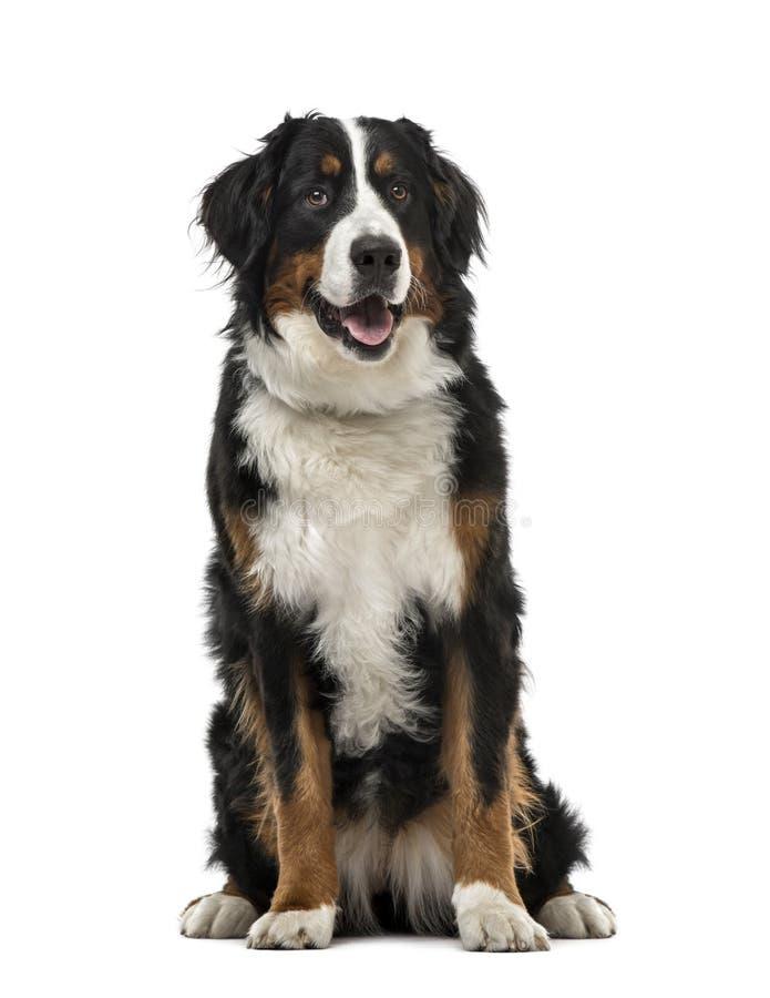 Séance de chien de montagne de Bernese, de 1 an, d'isolement image stock