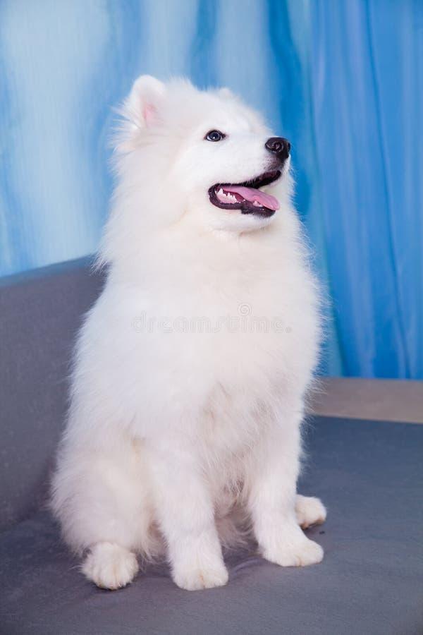 Séance de chiot de chien de Samoyed photo stock