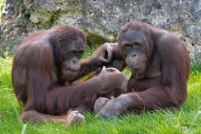 Séance de deux orangs-outans image libre de droits