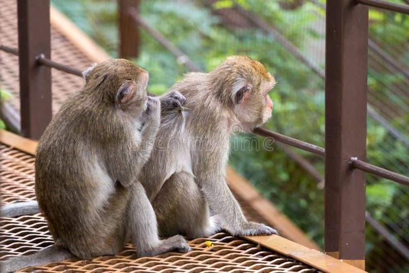 Séance de deux singes et une puce de conclusion photographie stock