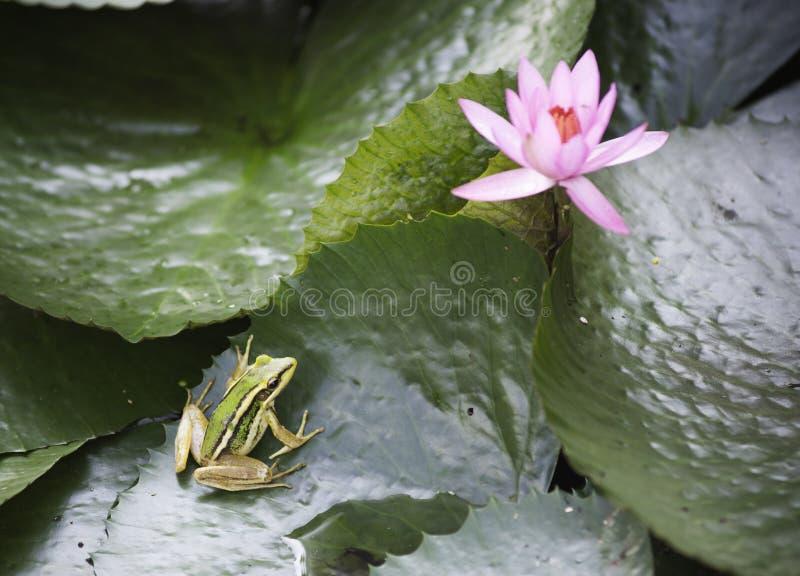 Séance de grenouille images stock