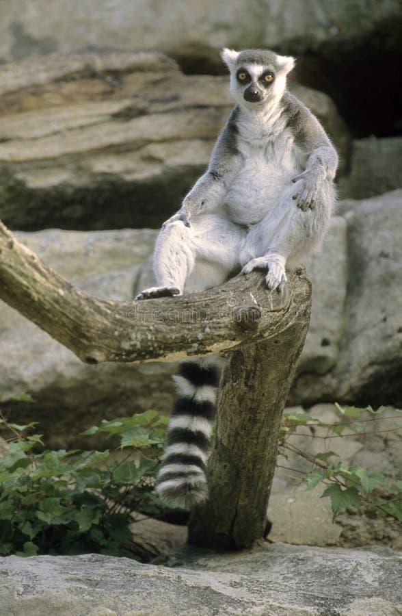 Séance de Lemur Ring-tailed photos libres de droits