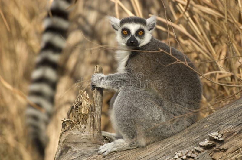 Séance de Lemur Ring-tailed photographie stock libre de droits