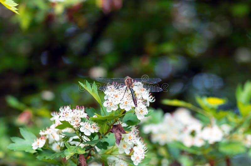Séance de libellule sur la fin d'aubépine de fleurs  photo libre de droits