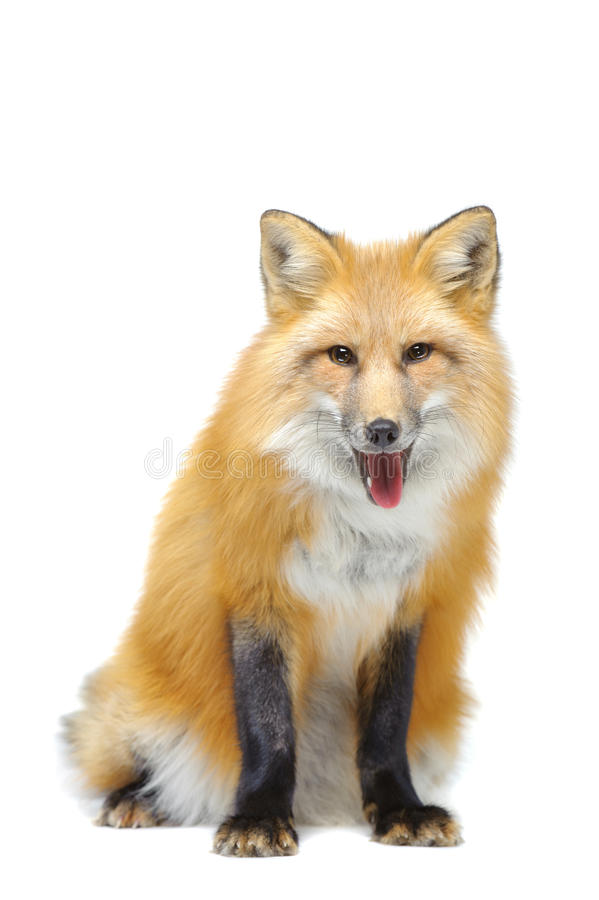 Séance de renard rouge photo stock