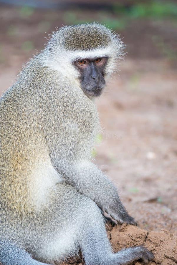 Séance de singe de Vervet photo stock