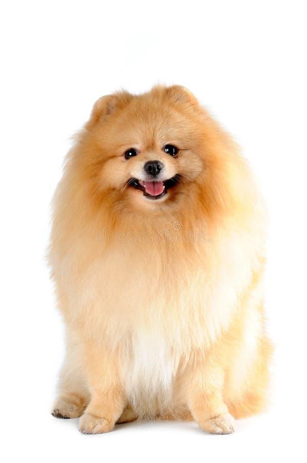 Séance de spitz de Pomeranian d'isolement sur le blanc images stock