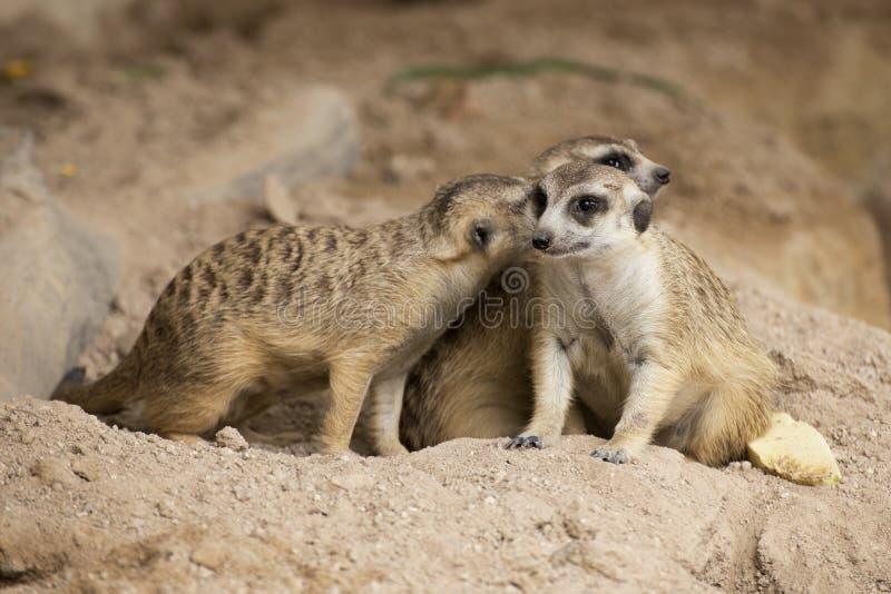 Séance de trois Meerkats photographie stock libre de droits