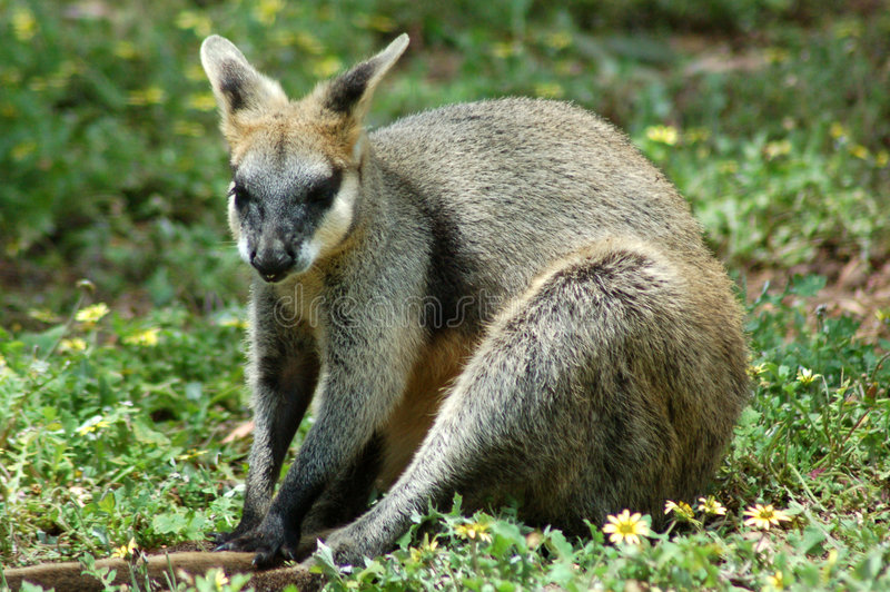 Séance de Wallaby de roche images stock