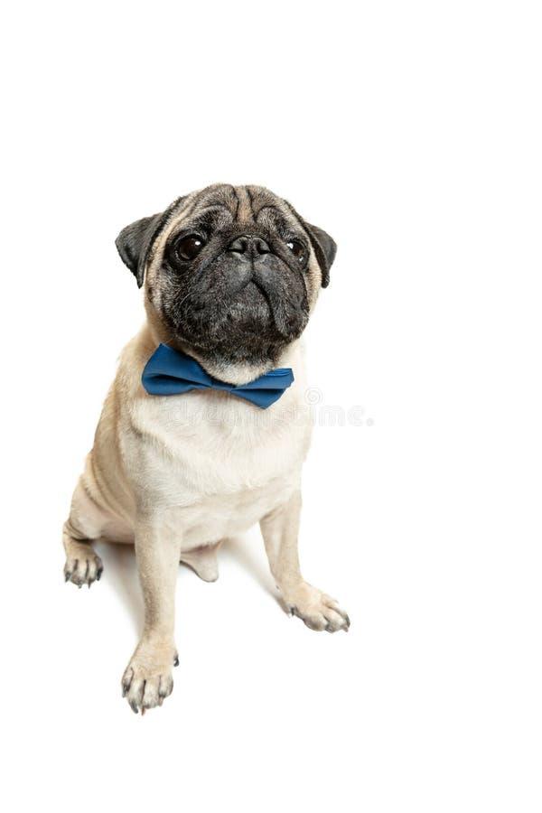 Séance et sourire mignons de race de roquet de chien avec sentiment de bonheur photo stock