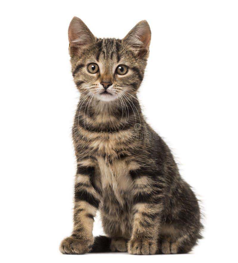 Séance européenne de chat, d'isolement photo stock
