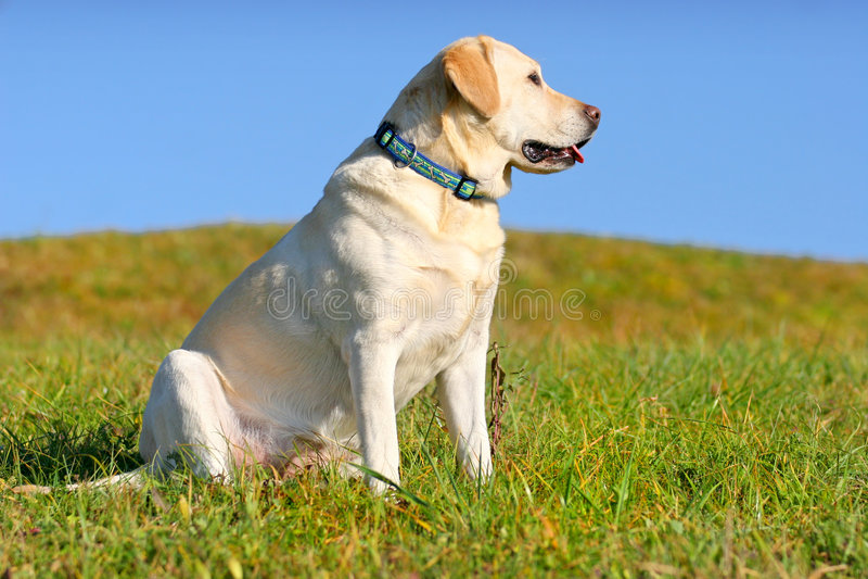 Séance jaune de Labrador photographie stock