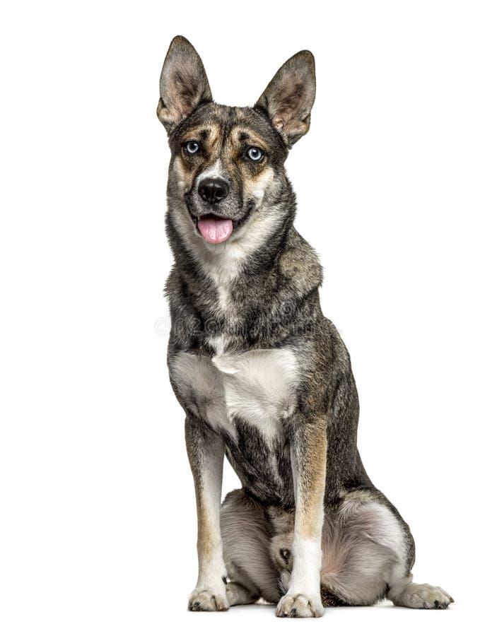 Séance mélangée de chien de race et halètement, d'isolement image stock