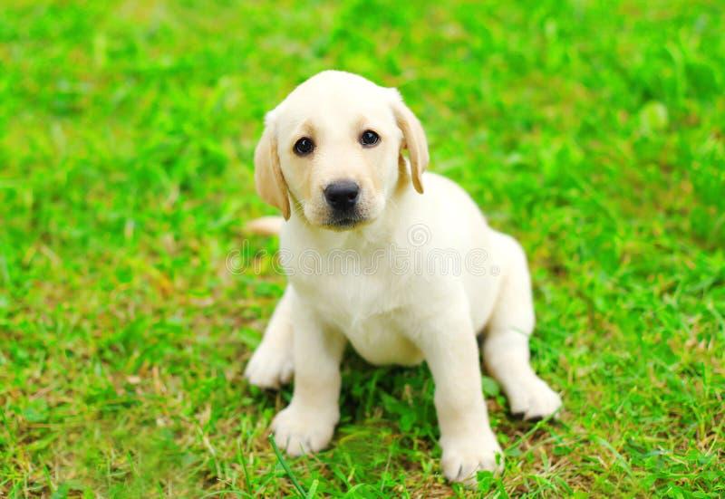 Séance mignonne de labrador retriever de chiot de chien photo stock