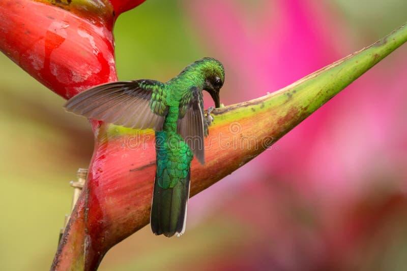 séance sabrewing Blanc-coupée la queue sur la fleur rouge, forêt tropicale caribean, Trinidad-et-Tobago, habitat naturel, beau hu image libre de droits