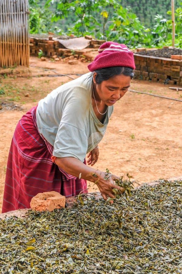 Séchage et fermentation de thé photo stock