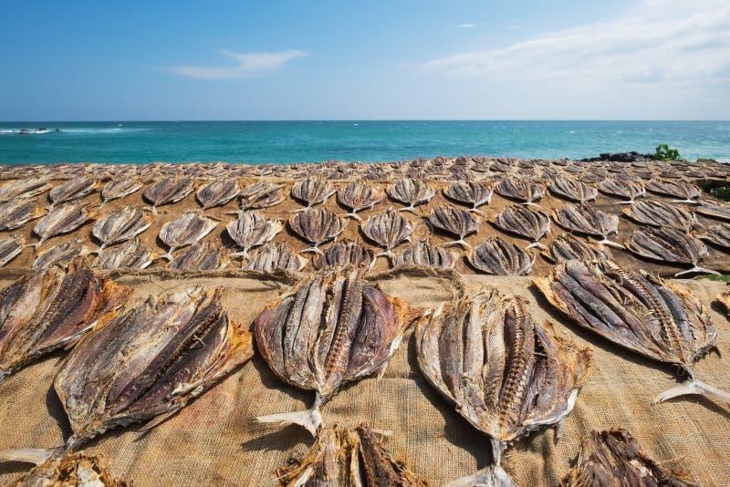 Séchage salé traditionnel de poissons sur des supports dans Midigama Sri Lanka image stock