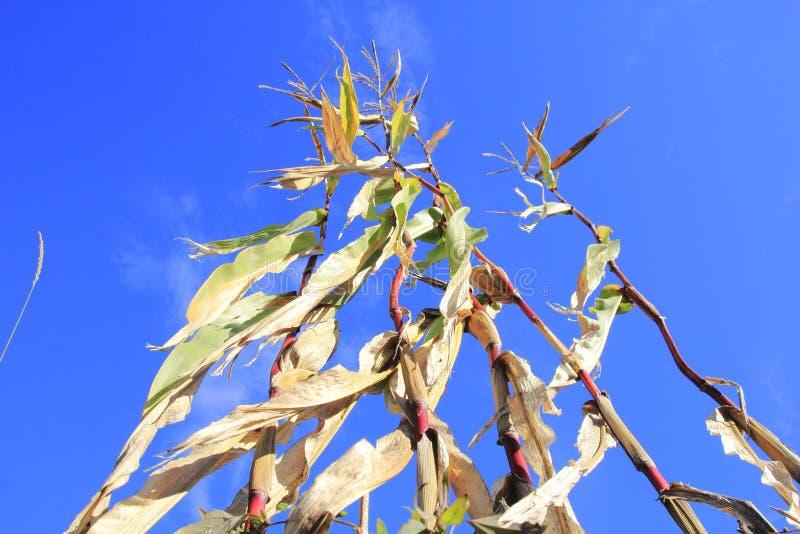 Sécheresse et une culture rouillée de maïs photo libre de droits