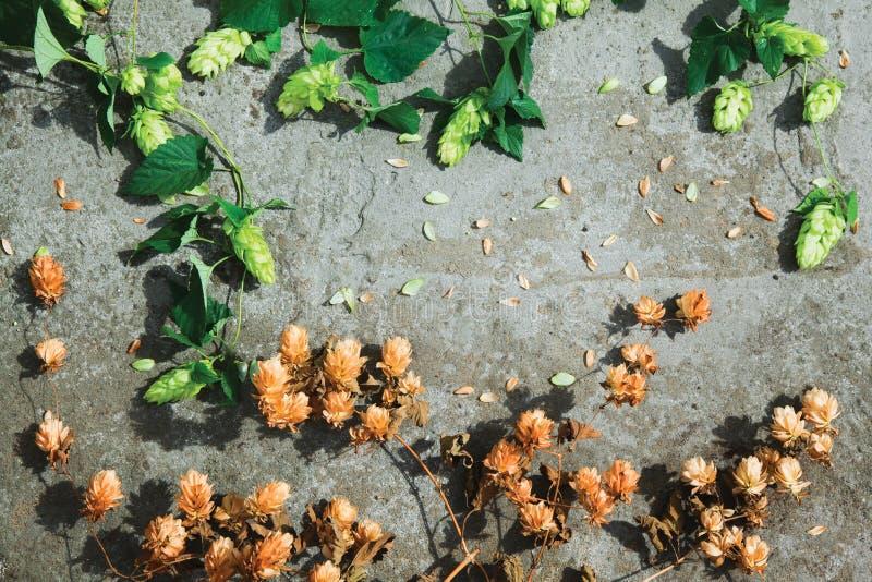 Séchez le houblon en cônes brun et les cônes verts frais de l'houblon sur le béton images libres de droits