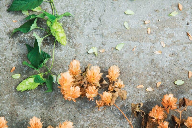 Séchez le houblon en cônes brun et les cônes verts frais de l'houblon sur le béton photographie stock